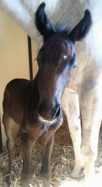 (Riverman x Grey Filly)