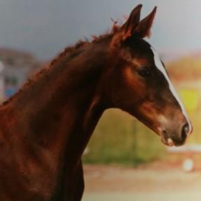 turner stables ster kwpn