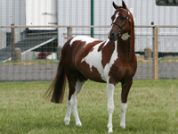 Harlequin_CF_stallion-web-200x150