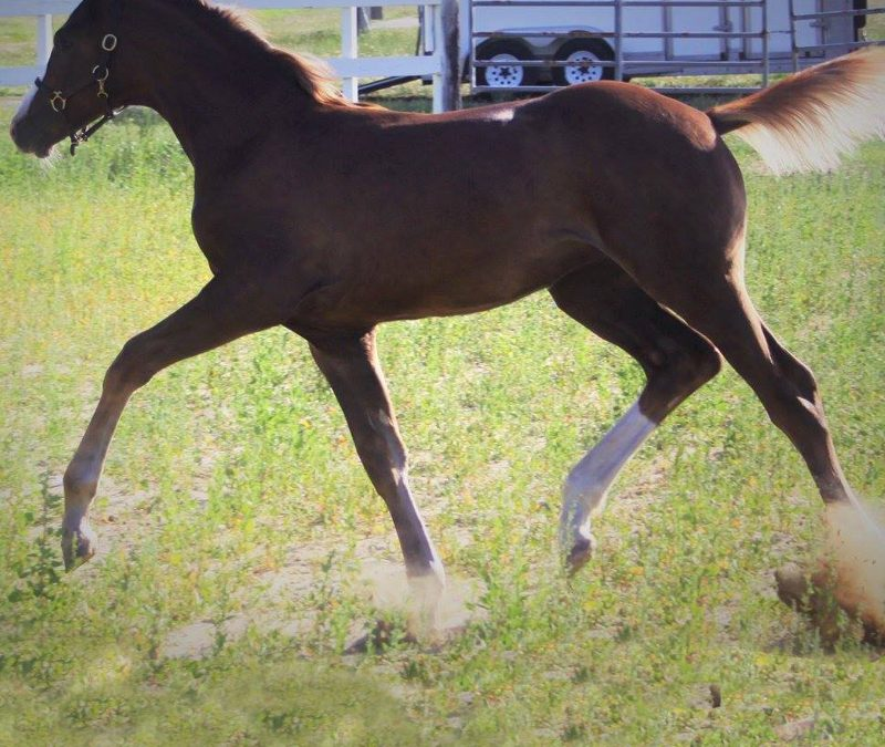 2016 Qredit filly