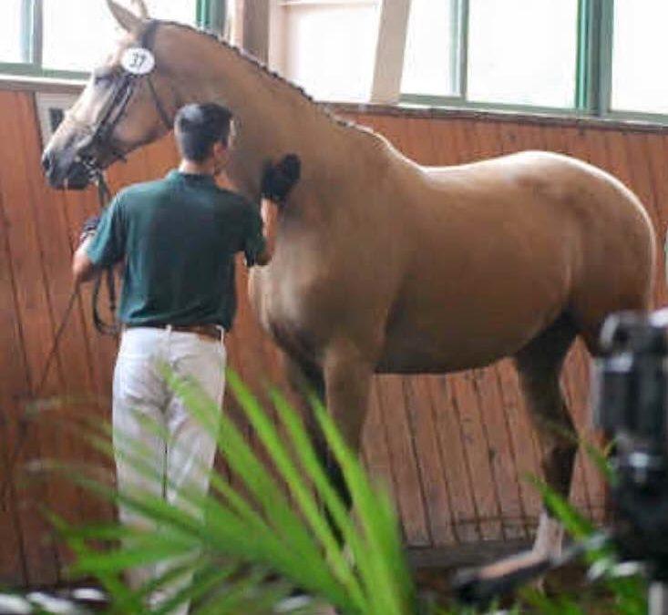 In-utero foal Rubinero x Victorian Gold