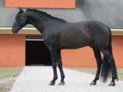 flamenco_cf_stallion-web-200x150