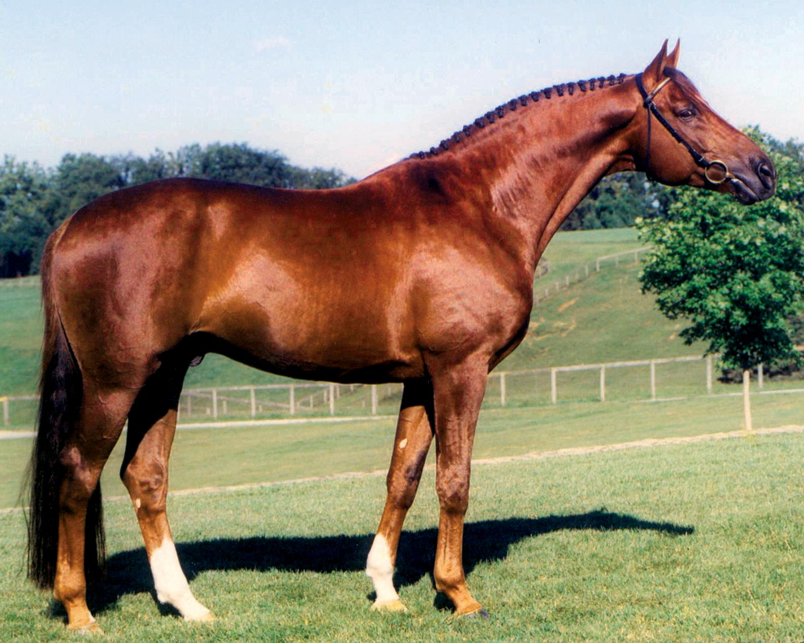 001-contucci-hanoverian-stallion-hilltop-farm
