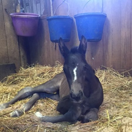 Ster_2016Filly_WellToDo_Caputo-web