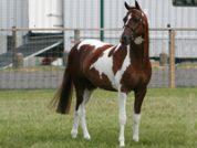 Harlequin_CF_stallion-web-200x150