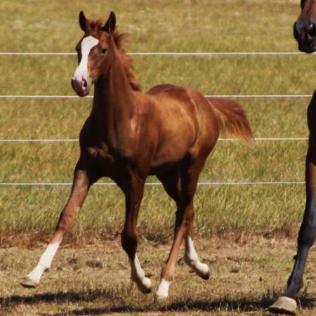 ster_2016filly4_unforgettable_sibiga_48dh-copy